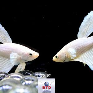 Live Betta Fish JU61 Delta White Platinum Premium Grade from Thailand