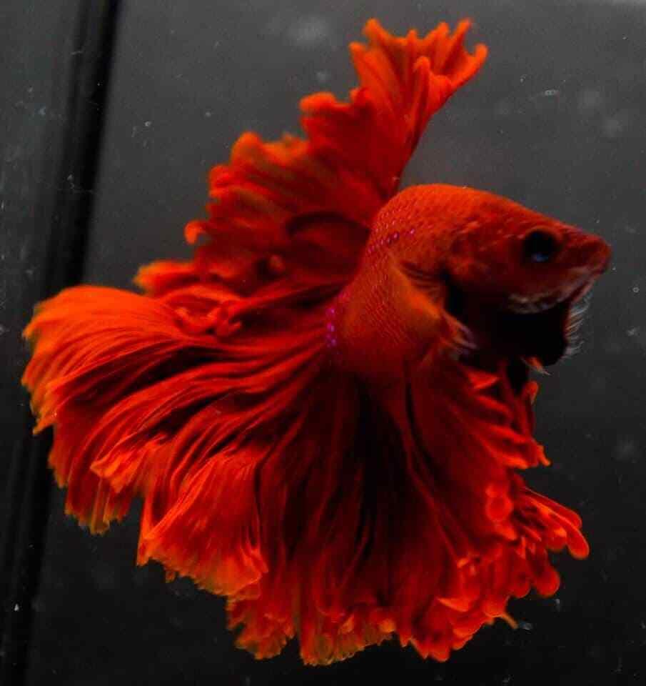 Live Betta Fish RED HALFMOON HM ROSETAIL Male AAA Grade Thailand Breeders