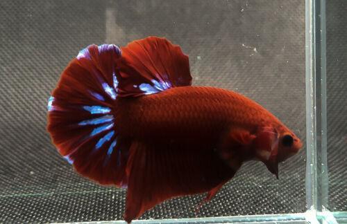 """Premium Live Betta Fish : Male Hellboy Star tail (BIT055) BO:1.5"""""""
